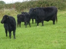 Mr Angus  calves 3 month old